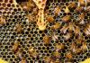 khasiat madu lebah